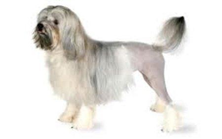 10 giống chó đắt nhất thế giới 1