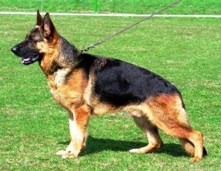 10 giống chó đắt nhất thế giới 4