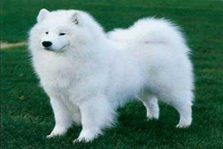 10 giống chó đắt nhất thế giới 3