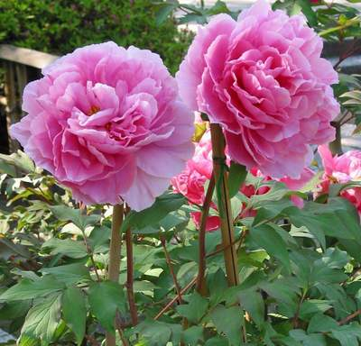 Công dụng kỳ diệu của loài hoa Mẫu đơn tuyệt đẹp 1