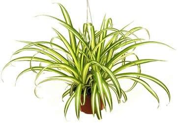 10 loại cây cảnh giải độc khí trong nhà 5