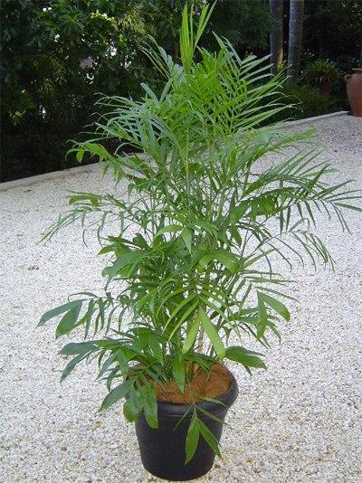 10 loại cây cảnh giải độc khí trong nhà 9