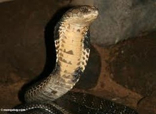 Chuyện về rắn hổ mang chúa nghiện nha phiến
