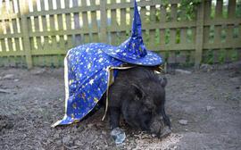 Chú lợn tiên tri bị dọa