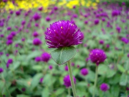 Ngắm những bông hoa tuyệt đẹp có công dụng trị bệnh không ngờ 3